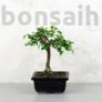 Kép 1/2 - Ulmus parvifolia (Kínai szil) bonsai - egyenes törzsű, 12 cm