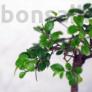Kép 3/6 - Ulmus parvifolia retusa bonsai lombja