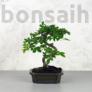 Kép 1/3 - Ulmus parvifolia (Kínai szil) bonsai - hajlított törzsű, 15 cm