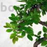 Kép 3/3 - Ulmus parvifolia (Kínai szil) bonsai - hajlított törzsű, 20 cm