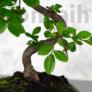 Kép 2/3 - Ulmus parvifolia (Kínai szil) bonsai - hajlított törzsű, 20 cm