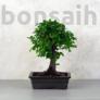 Kép 1/2 - Ulmus parvifolia (Kínai szil) bonsai - egyenes törzsű, 20 cm