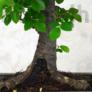 Kép 2/2 - Ulmus parvifolia (Kínai szil) bonsai - egyenes törzsű, 20 cm