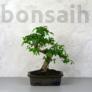 Kép 1/3 - Ulmus parvifolia (Kínai szil) bonsai - hajlított törzsű, 20 cm