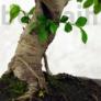 Kép 3/3 - Ulmus parvifolia (Kínai szil) bonsai, törzs