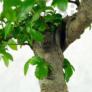 Kép 2/3 - Ulmus parvifolia (Kínai szil) bonsai, lombkorona
