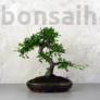 Kép 1/3 - Ulmus parvifolia (Kínai szil) bonsai - hajlított törzsű, 24 cm