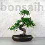 Kép 1/2 - Ulmus parvifolia (Kínai szil) bonsai - hajlított törzsű, 28 cm
