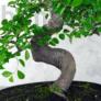 Kép 2/2 - Ulmus parvifolia (Kínai szil) bonsai - hajlított törzsű, 28 cm