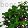 Kép 3/7 - Carmona bonsai lombja
