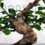 Kép 3/3 - Carmona (Borágófa) bonsai törzs