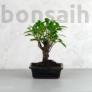 Kép 1/3 - Ficus (fikusz) - egyenes, 15 cm-es cserépben
