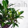 Kép 2/3 - Ficus (Fikusz) bonsai - egyenes törzsű, lombozat