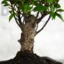 Kép 3/3 - Ficus (Fikusz) bonsai - egyenes törzsű, törzs