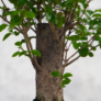 Kép 3/3 - Ligustrum chinesis (Kínai fagyal) bonsai, törzs