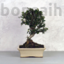 Kép 1/3 - Olea (Olajfa) bonsai