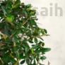 Kép 2/3 - Olea (Olajfa) bonsai lombozata