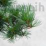 Kép 2/3 - Pinus parviflora (Japán selyemfenyő) bonsai lomb