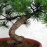Kép 3/3 - Pinus parviflora (Japán selyemfenyő) bonsai törzs