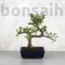 Kép 1/3 - Portulacaria afra (Japán pénzfa) bonsai