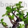 Kép 2/3 - Portulacaria afra (Japán pénzfa) bonsai lombja