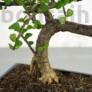 Kép 3/3 - Portulacaria afra (Japán pénzfa) bonsai törzse