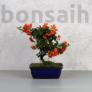 Kép 1/6 - Pyracantha (Tűzövis) bonsai - hajlított törzsű