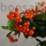 Kép 6/6 - Pyracantha (Tűzövis) bonsai, termés