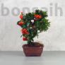 Kép 1/5 - Pyracantha (Tűzövis) bonsai - hajlított törzsű