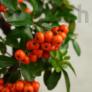 Kép 3/5 - Pyracantha (Tűzövis) bonsai, termés