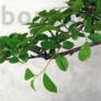 Kép 2/3 - Ulmus parvifolia (Kínai szil) bonsai - hajlított törzsű, 24 cm