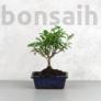 Kép 1/3 - Zanthoxylum piperitum (Borsfa) bonsai