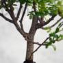 Kép 3/3 - Zanthoxylum piperitum (Japán borsfa)