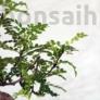 Kép 2/3 - Zanthoxylum piperitum (Japán borsfa)