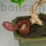 Kép 2/3 - Táptartó kosár bonsaiokhoz